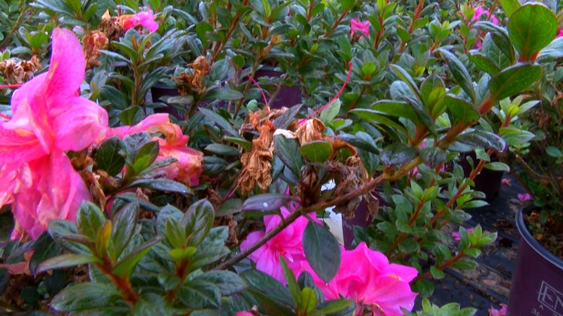 This week's cold weather has damaged a lot of plants across the Pine Belt.