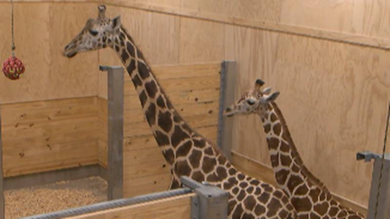 Two giraffes, Sue Ellen and Alberta, are getting accustomed to their new home at the...