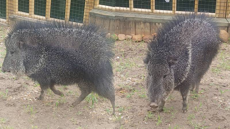 Two male Chacoan Peccaries, Fennel and Basil, are now on exhibit at the zoo.